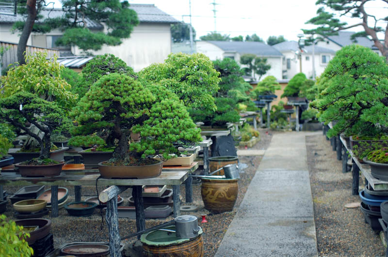 10 Most Oldest Bonsai Trees Updated 2021 Review Whore